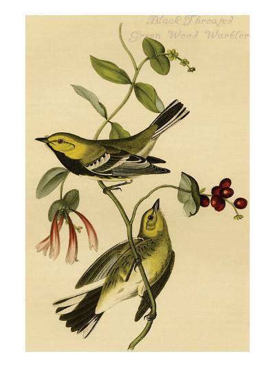 Black Throated Green Wood Warbler-John James Audubon-Art Print