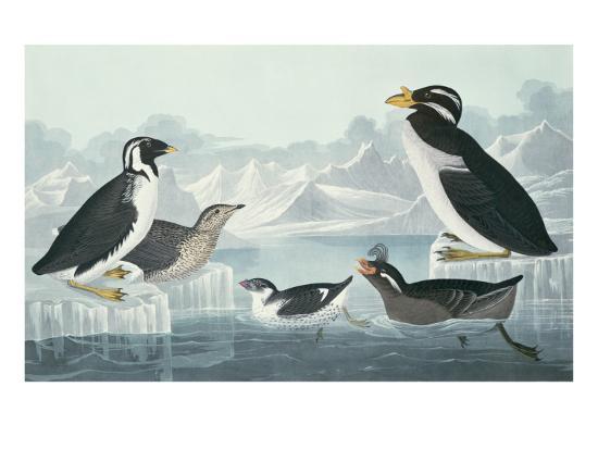 Black-Throated Guillemot, Nobbed-Billed Auk, Curled-Crested Auk, Horn-Billed Guillemot-John James Audubon-Giclee Print