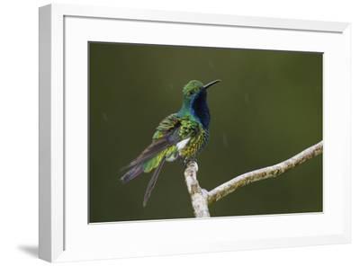 Black-throated Mango Hummingbird-Ken Archer-Framed Premium Photographic Print