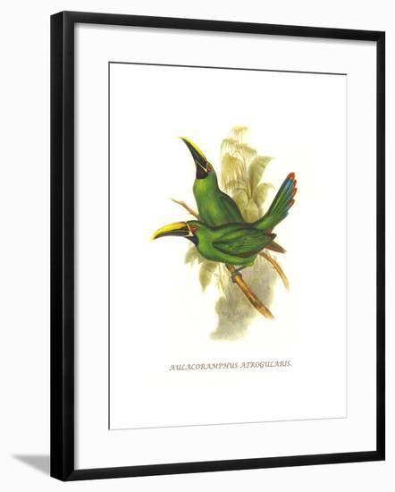 Black Throated Toucanet-John Gould-Framed Art Print