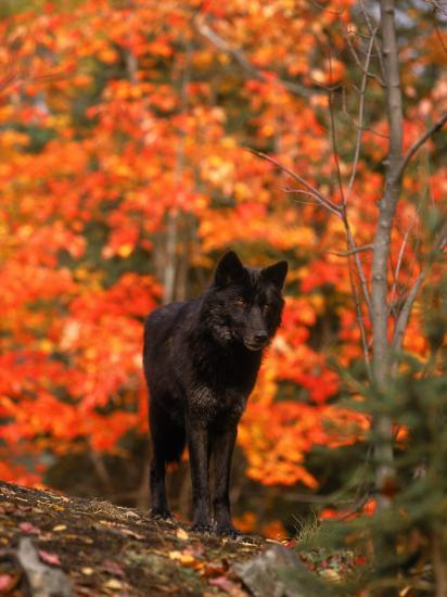 Black Timber Wolf in Autumn Forest-Don Grall-Photographic Print