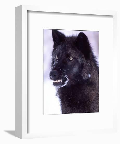 Black Timber Wolf Snarling, Utah, USA-David Northcott-Framed Photographic Print