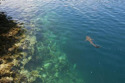 Black Tipped Sharks in the Crystal Clear Waters of the Marovo Lagoon, Solomon Islands, Pacific-Michael Runkel-Photographic Print