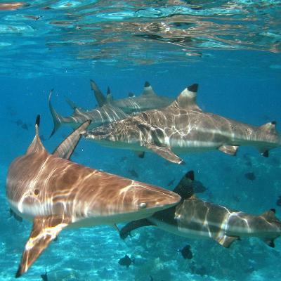 Black Tipped Sharks. Moorea-Mako photo-Photographic Print