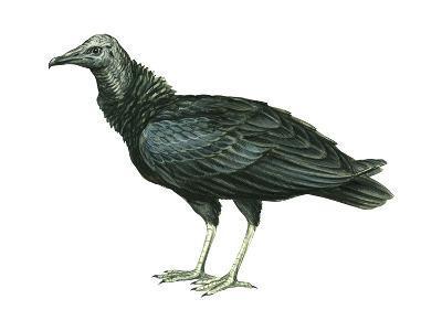 Black Vulture (Coragyps Atratus), Birds-Encyclopaedia Britannica-Art Print