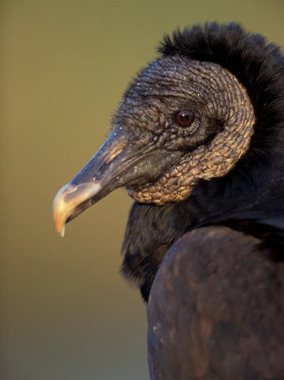 Black Vulture, Everglades National Park, Florida, USA-Art Wolfe-Photographic Print
