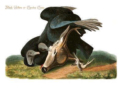 Black Vulture or Carrion Crow-John James Audubon-Art Print