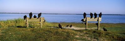 Black Vultures Perching on Benches, Myakka River State Park, Sarasota County, Florida, USA--Photographic Print