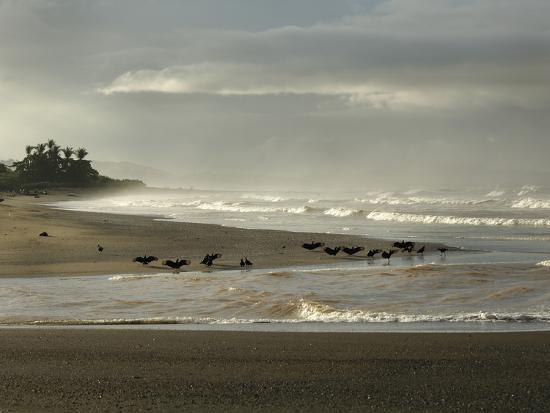 Black Vultures Waiting for Olive Ridley Sea Turtle Hatchlings to Emerge-Solvin Zankl-Photographic Print