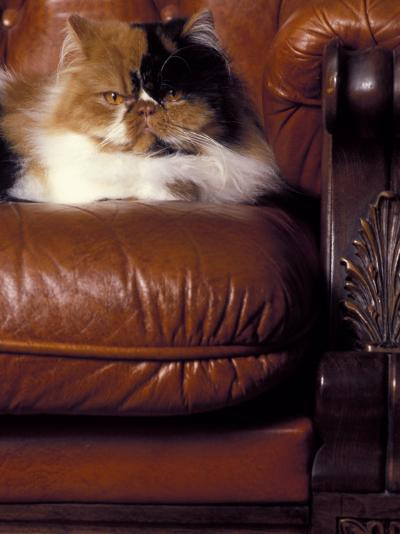 Black, White and Cream Mackerel Tabby Persian Cat Resting in Armchair-Adriano Bacchella-Photographic Print