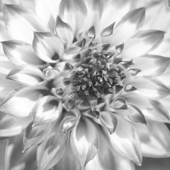 Black & White Dalia 4-Suzanne Foschino-Photo