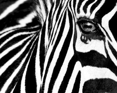 https://imgc.artprintimages.com/img/print/black-white-ii-zebra_u-l-f31y580.jpg?p=0