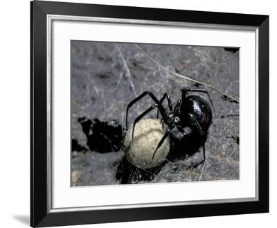 Black Widow Spider and Egg, Machu Picchu, Peru-Andres Morya-Framed Photographic Print