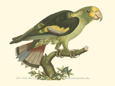 Black-Winged Parakeet--Art Print