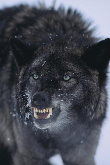 Black Wolf Snarling in Snow-DLILLC-Photographic Print