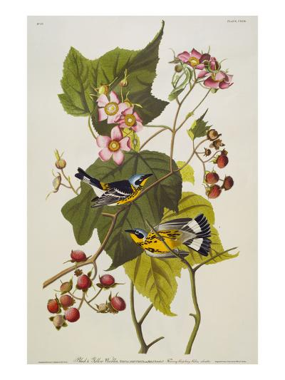 Black & Yellow Magnolia Warbler (Dendroica Magnolia), Plate CXXIII, from 'The Birds of America'-John James Audubon-Giclee Print