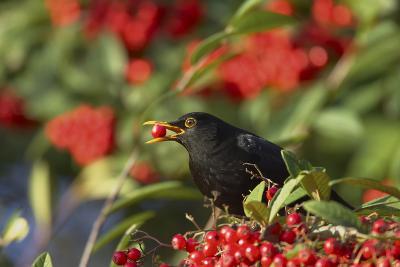 Blackbird Feeding on Autumn Berries--Photographic Print