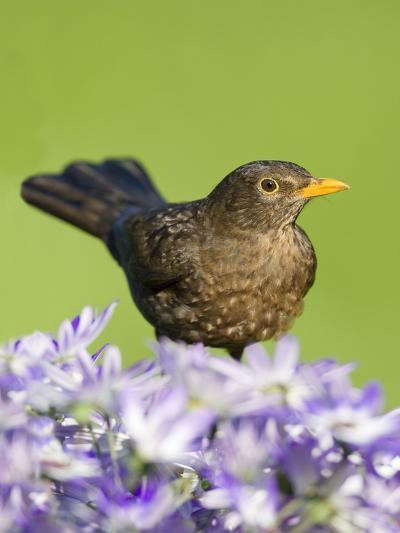 Blackbird Female--Photographic Print