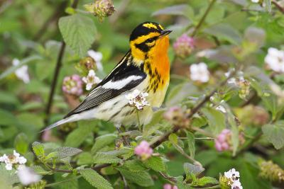 Blackburnian Warbler Bird Adult Male Foraging for Insects in Lantana Garden-Larry Ditto-Photographic Print