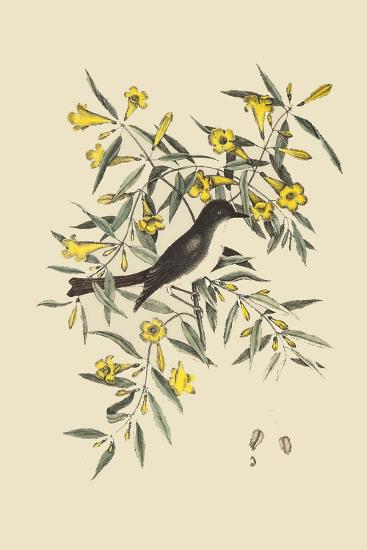 Blackcap Flycatcher-Mark Catesby-Art Print
