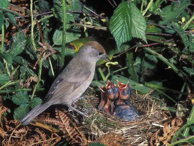 Blackcap (Sylvia Atricapilla) Female Feeding Chicks in the Nest, France-Dave Watts-Photographic Print