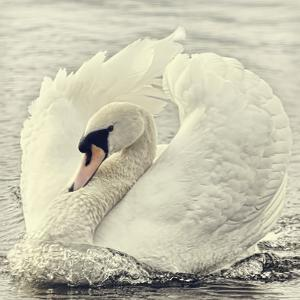 Swan Causing Bow Wave by BlackCatPhotos
