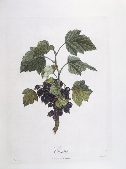 Blackcurrant (Ribes Nigrum) or Cassis Noir De Bourgogne Henry Louis Duhamel Du Monceau--Giclee Print