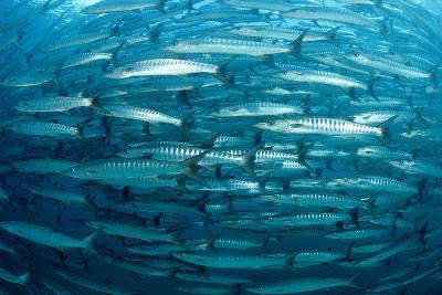 Blackfin Barracuda (Sphyraena Qenie) Pacific Ocean-Reinhard Dirscherl-Photographic Print