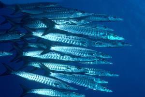 Blacktail Barracuda