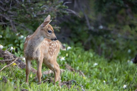 Blacktail Deer Fawn in Meadow, Olympic NP, Washington, USA-Gary Luhm-Photographic Print