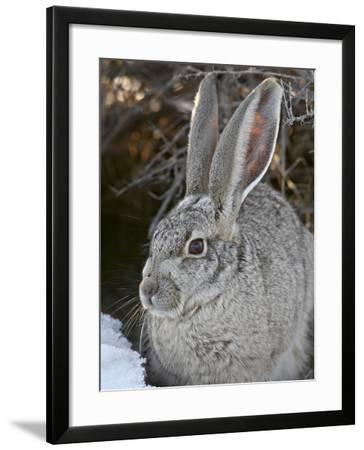 Blacktail Jackrabbit (Lepus Californicus) in the Snow, Antelope Island State Park, Utah, USA-James Hager-Framed Photographic Print