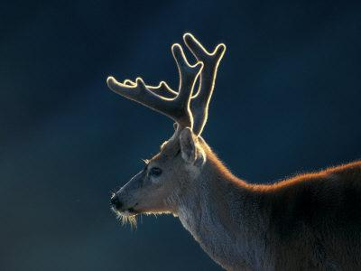 Blacktail or Mule Deer, Olympic National Park, Washington, USA-Art Wolfe-Photographic Print