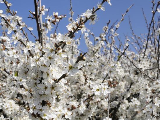 Blackthorn (Prunus Spinosa) in Full Flower, Cornwall, England, United Kingdom, Europe-Nick Upton-Photographic Print