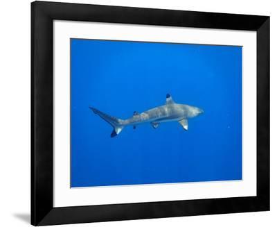 Blacktip Reef Shark in the Lagoon. Bora Bora. French Polynesia.-Tom Norring-Framed Photographic Print