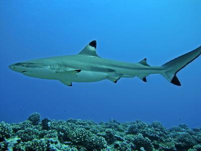 Blacktip Reef Shark Male Considered--Photographic Print