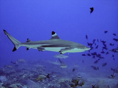 Blacktip Reef Shark Swimming Through Fish--Photographic Print