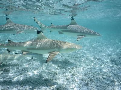 Blacktip Reef Sharks Swim in Shallow Water-Jeff Foott-Photographic Print