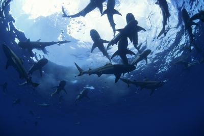 Blacktip Reef Sharks-Alexis Rosenfeld-Photographic Print