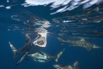 Blacktip Sharks (Carcharhinus Limbatus)-Reinhard Dirscherl-Photographic Print