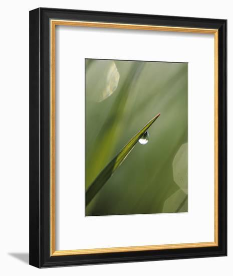 Blade of Grass with Dewdrop-Nancy Rotenberg-Framed Photographic Print