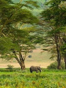 African Elephant in Ngorongoro Crater in Ngorongoro Conservation Area by Blaine Harrington