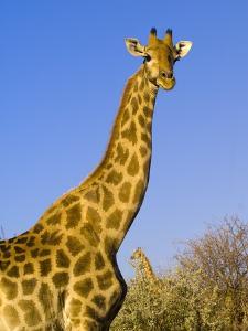 Giraffe in Etosha National Park by Blaine Harrington