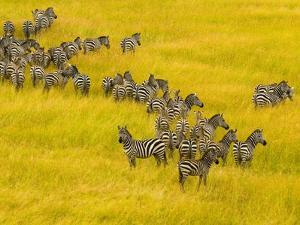 Zebra Herd in Masai Mara National Reserve by Blaine Harrington