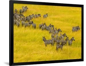 Zebra Herd in Masai Mara National Reserve by Blaine Harrington