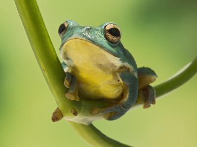 Blanford Tree Frog Gripping Plant Stem--Photographic Print