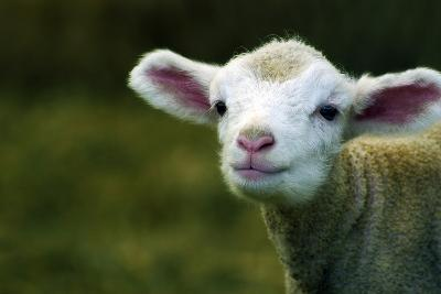 Bleating Lamb-Photo by Alan Shapiro-Photographic Print