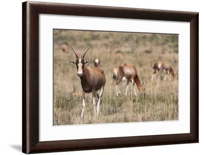 Blesbok (Damaliscus Dorcas Phillipsi), Mountain Zebra National Park, South Africa, Africa-Ann & Steve Toon-Framed Photographic Print