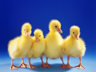 Domestic Goose (Anser Anser F. Domestica), Four Fluffy Goose Chicks