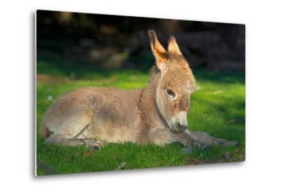 Domestic Donkey (Equus Asinus Asinus), Foal Lays in a Meadow, Germany, North Rhine-Westphalia