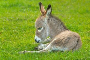 Domestic Donkey (Equus Asinus Asinus), Foal Rests in a Meadow, Germany, North Rhine-Westphalia by Blickwinkel/Wilken